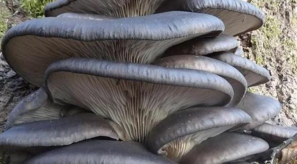 Organic Oyster Mushrooms
